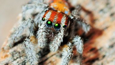 On Spinder, when students find an Australian Peacock Spider with traits they like and swipe to the right, those traits are passed on in an exercise of inheritability.