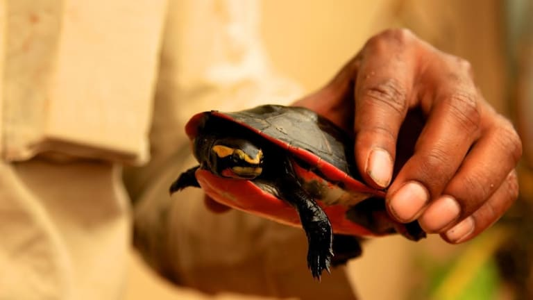The Jardine River Painted turtle, native to Queensland'™s Cape York, has not been formally sighted since 1989 ... until now.