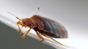 A bed bug in a Minnesota lab.