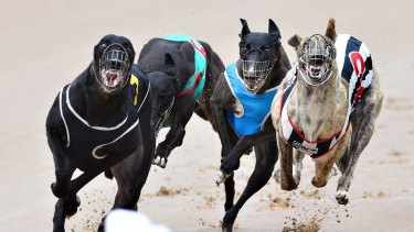 Final sprint: The NSW government plans to end greyhound racing in 2017.