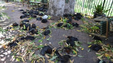 Dead bats dropped dead from the trees around Casino in the weekend heatwave.