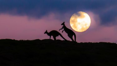 The amorous kangaroos begin their courtship.
