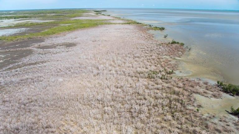 Aerial imagery of large scale diebacks of Mangrove trees.