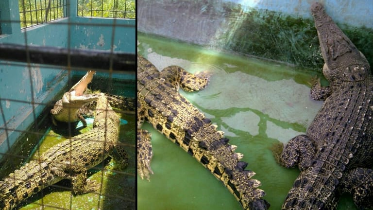 Crocodiles captured by the East Nusa Tenggara Natural Resources Conservation Agency.  Pic: Supplied