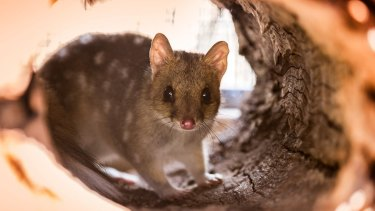 The ACT's eastern quoll population could double by next year.