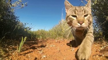 More than two million feral cats now cover 99.8 per cent of Australia.