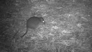 Surveillance photographs of the long-nosed potoroo show them on the bushland floor, where they may be exposed to predators.