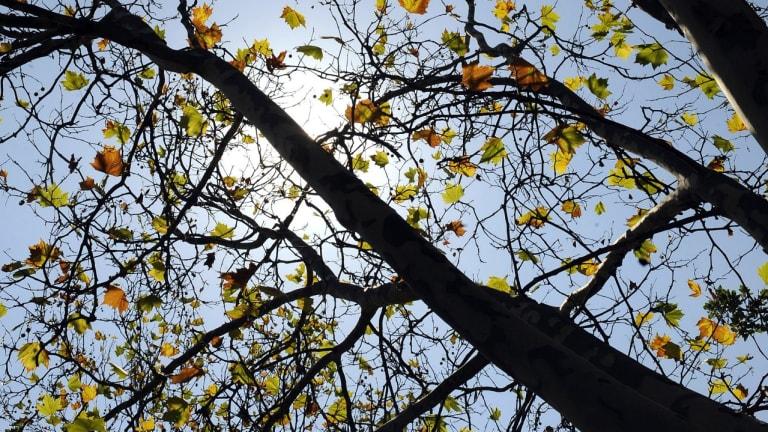 Plants drop leaves after a recent autumn heatwave in Melbourne.