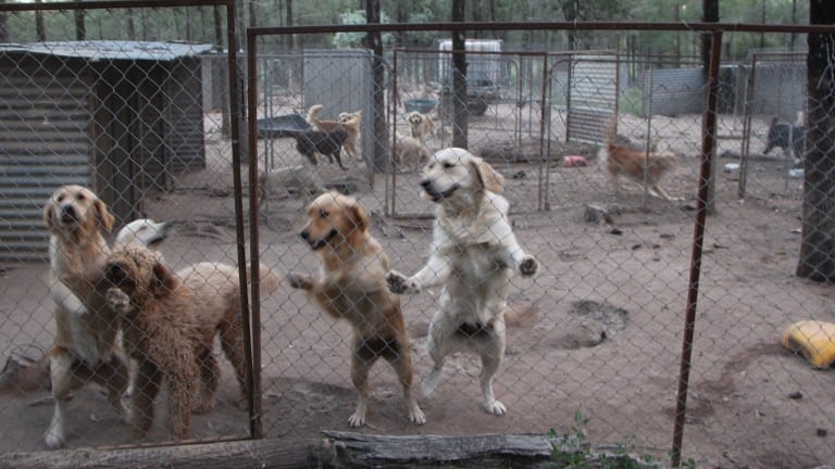 Cruel reality: Dogs in a pen at the NSW puppy farm.