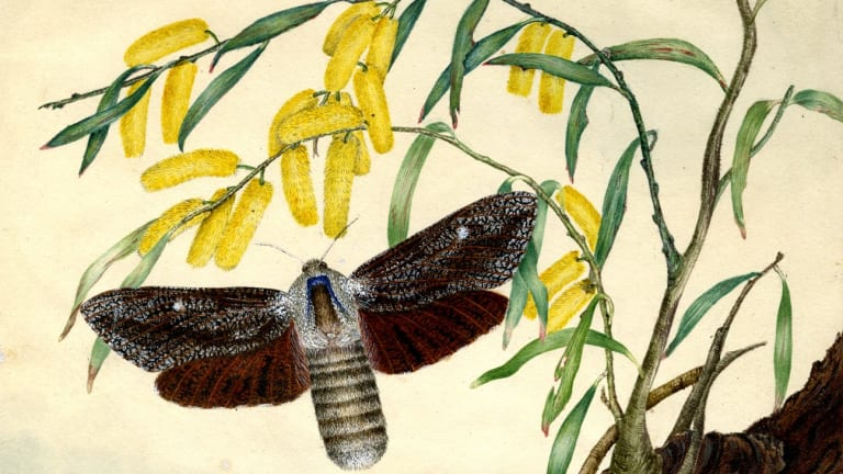 Wattle goat moth (detail) by Harriet Scott.