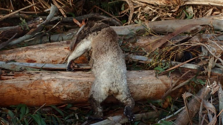 The koala killed in the logging coupe in the Acheron Valley.