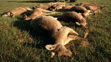 We kill: Kangaroos shot dead in a cull.
