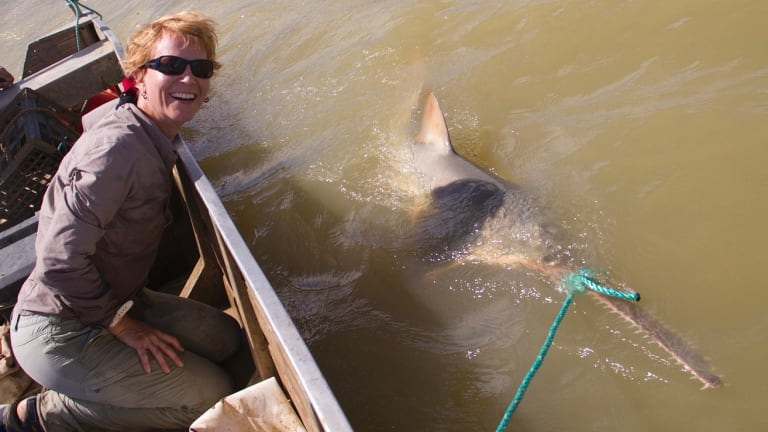 Dr Barbara Wueringer with a sawfish in the waters of the southern Gulf of Carpentaria. The fish are caught for tagging and released. It is illegal to catch the highly endangered species.