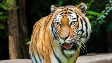 Tigers are not the only endangered species who need funds.