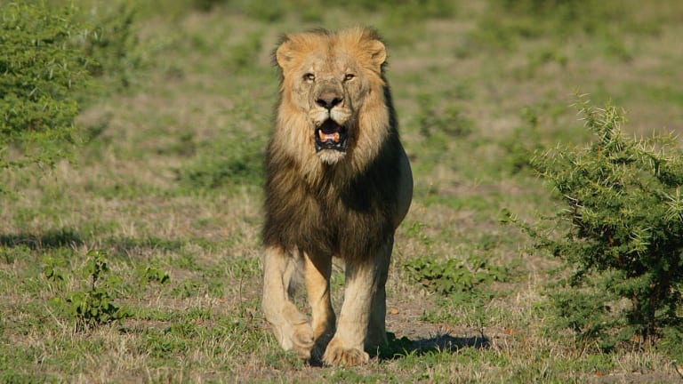 Conservation strategies require recognition of the tension between ethics and economics, as in the case of canned lion hunting.
