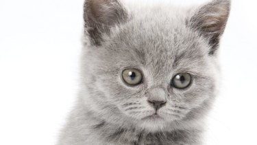 Without the powers of NSW's ICAC, Victoria's IBAC will be a mere kitten, with no effective claws.