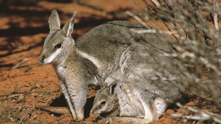 Bridled nailtail wallabies were common in eastern Australia before Europeans arrived.