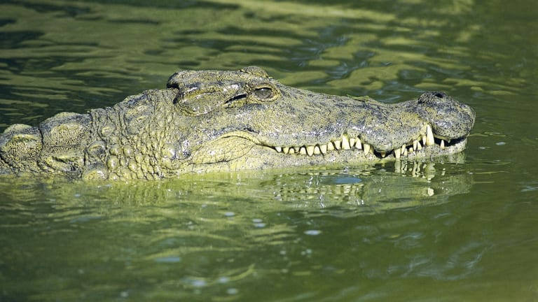New research has found estuarine crocodiles, which most people know as saltwater crocodiles, were relatively inactive between January and August, remaining in backwaters.