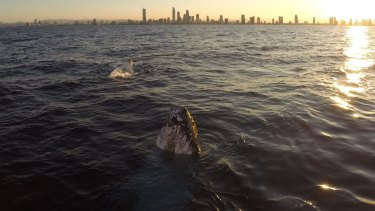 A whale breaches on the Gold Coast this week.