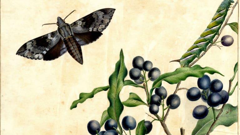 Privet hawk moth (detail) by Helena Scott.