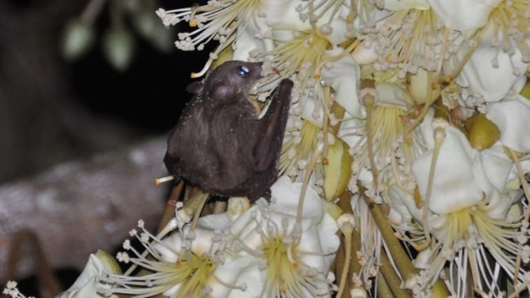 Bats are also integral to pollinating a number of plants, including the Durian.