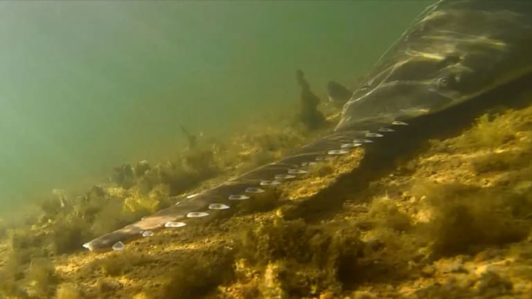 Study shows that sawfish use their rostra as the ultimate stealth weapon, barely disturbing the water as they hunt for prey.