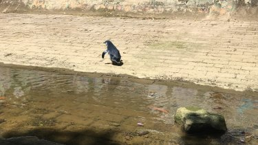 The penguin walked from Summer Hill to Haberfield where he was rescued by the RSPCA.
