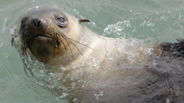 Warrnambool beach shut after girl reports large seal killed
