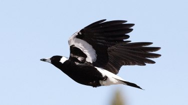 Look out, magpie swooping season is under way.