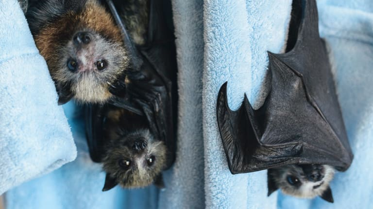 Hanging out on someone's dressing gown was not the start ACT Wildlife imagined for these young flying foxes
