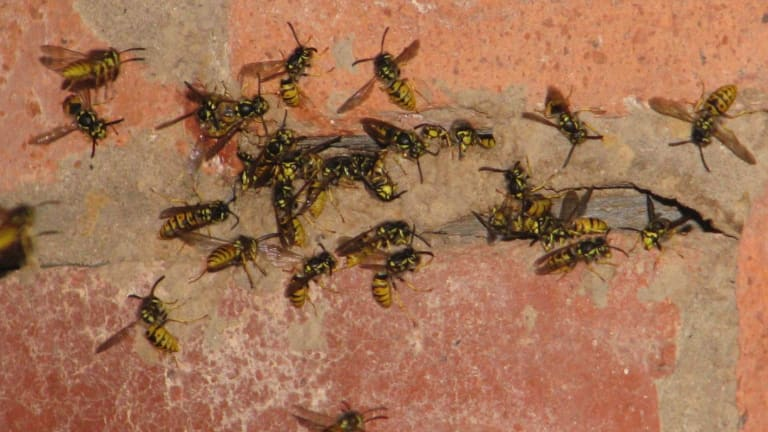 The ACT government has banned Canberrans from 'keeping or supplying' European wasps