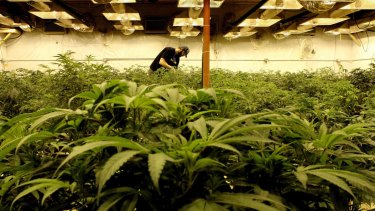Under cultivation: A cannabis growing operation.