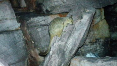 This is the only known photo of a nabarlek, captured on Augustus island off the Kimberley coast in July 2013.