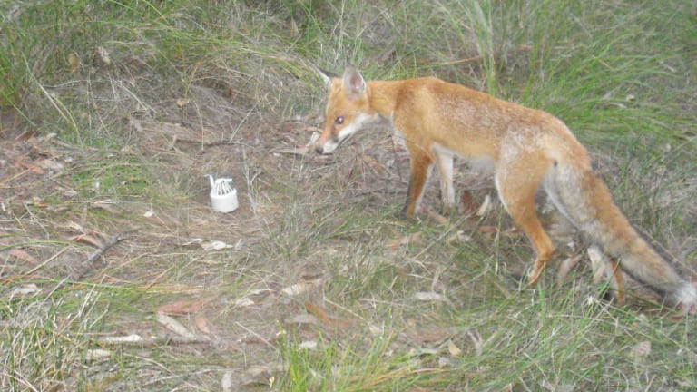A feral fox in a NSW national park.