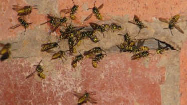 European wasp numbers have spiked in the ACT.