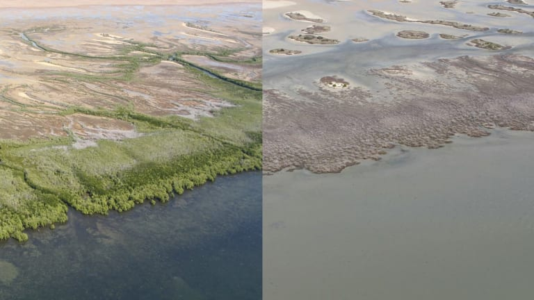 The mangrove wipeout could have multiple impacts, including the loss of fisheries worth hundreds of millions of dollars and more coastal erosion because of the loss of forest protection.
