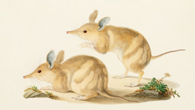 Perameles bougainville (western barred bandicoot, Peramelidae). Finished watercolour by Ferdinand Bauer.