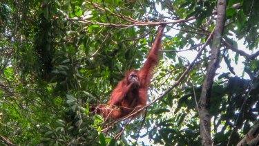An orang-utan in the Gunung Leuser National Park on Sumatra.