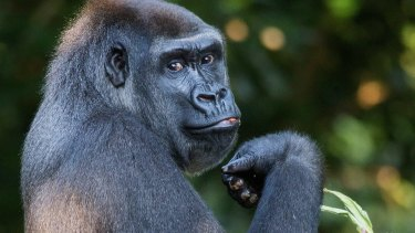 'The gorilla channel' meme highlights how easy it is for satire and fake news to become confused.