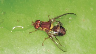 The exotic little pest that could cause the WA horticultural industry big dollars.