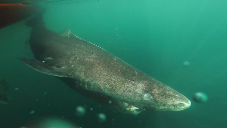 The world's longest living vertebrate is the Greenland shark, here seen returning to the cold waters of the Uummannaq Fiord, Greenland.