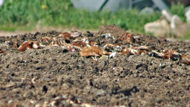Laying hen carcasses on top of manure pile at Swan Valley Egg Farm, Carabooda.