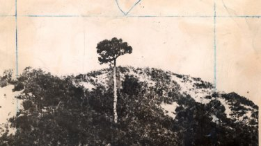 An old photo of Lone Pine before it was shattered by shell fire.