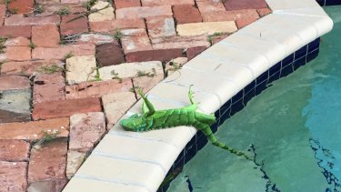 An iguana that froze lies near a pool after falling from a tree in Boca Raton, Florida, on Thursday.