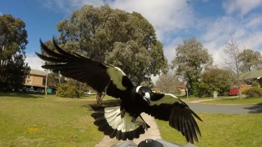 Serious injuries sustained from magpie attacks are rare.