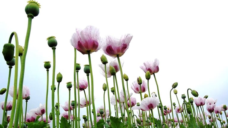 Legal opium poppies blooming across victoria legal opium poppies growing in victoria mightylinksfo