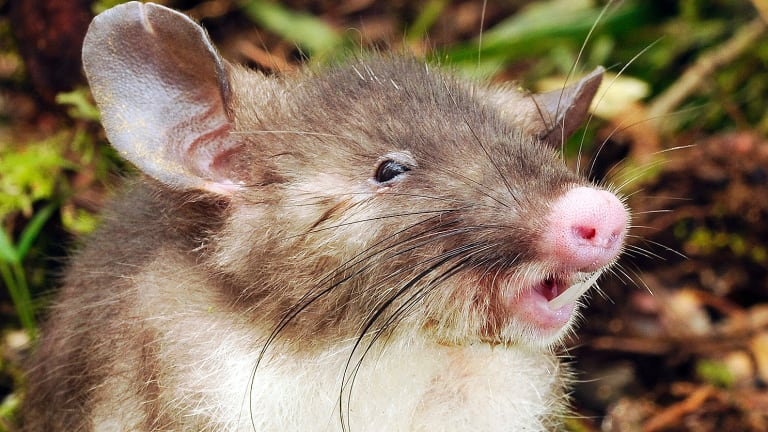 Meet the newest mammal discovered: the hog-nosed rat from Indonesia.