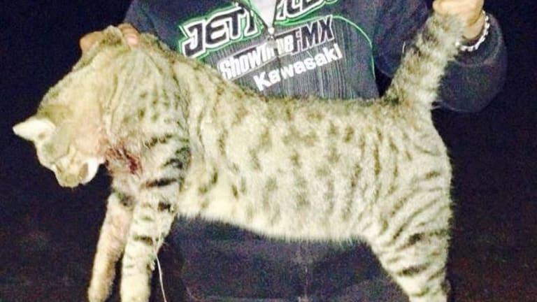 A 6.8kg cat caught in the Anangu Pitjantjatjara Yangkuntjatjara lands had half a 5kg wallaby in its stomach.