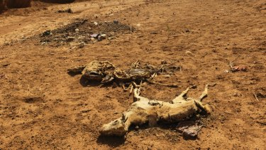 Dead goats lie on a dried up river bed in Somaliland.