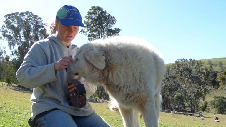Dr Linda van Bommel with a Maremma dog, which is being trained to protect native wildlife in Victoria.
